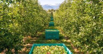 Frutti perfetti sugli scaffali dei supermercati: norme e politiche della grande distribuzione mettono in ginocchio il settore