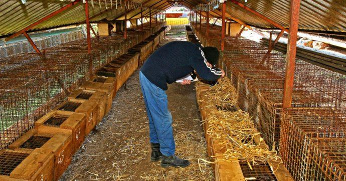 Commissione Ue vuole vietare le gabbie per gli animali da allevamento entro il 2027: coinvolgerà 300 milioni di esemplari all'anno