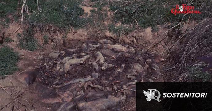 """Discarica di maiali nel Cremonese, chiesta l'archiviazione. La Lav si oppone e rilancia: """"Gravi condotte indagate solo in parte"""""""