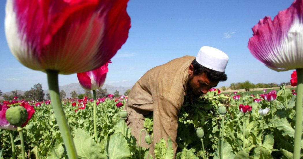 """Afghanistan, le coltivazioni di oppio quadruplicate in 20 anni di guerra: e ora si esporta direttamente l'eroina. Gli errori degli Usa e le strategie dei Talebani: """"Ridurranno la sovrapproduzione per sostenere il prezzo"""""""