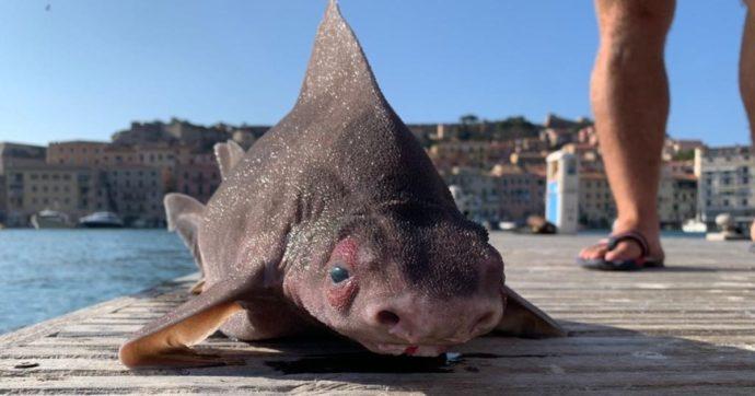 Trovato raro esemplare di pesce porco lungo più di un metro: lo squalo che grugnisce era nelle acque dell'Isola d'Elba
