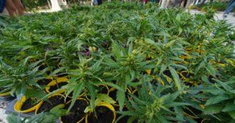Referendum cannabis, boom di firme: ne arrivano 50mila in 5 ore. Corsa contro il tempo per raccoglierne 500mila entro il 30 settembre