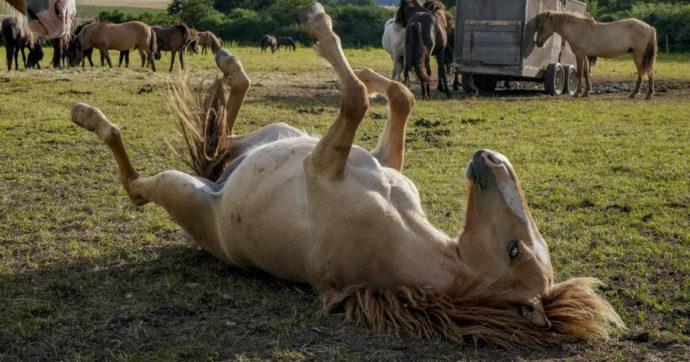 Entrava di nascosto nella stalla per fare sesso con un cavallo: incastrato dalle telecamere fatte installare dalla proprietaria